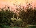 Swans in the reed
